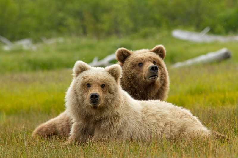 A teenage bear rests next to her mother, in the meadows of Katmai National Park, Alaska.©Disneynature