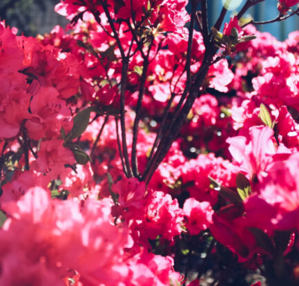 In Season Blooms: What You Need to Know About Azaleas